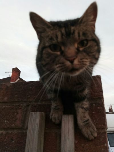 Domestic Cat Domestic Animals One Animal Feline Day Outdoors Caturday Happy Caturday Cat Moggy Random Cat Neighbourhood Cat What You Looking At? Heres Looking At You Cat On A Wall Cats Paws Focused Looking At Camera Curious Curious Cat Curiosity What Do You Want?