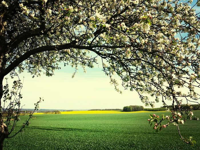 Landscape Spring Blossoms  Apple blossoms with rape field Muldental