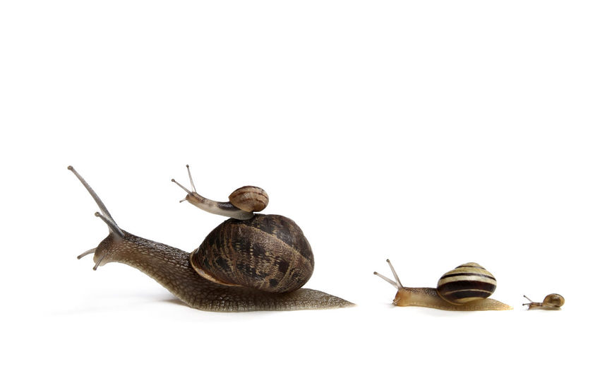 Family of Snails going on a Journey together, maybe to relocate : Isolated on white Concept shot Baby Childen Family Funny Home Isolated Kids Mother Moving Siblings Animal Themes Animal Wildlife Close-up Concept Copy Space Cute Father House Idea Relocating Relocation Snail Studio Shot White Background