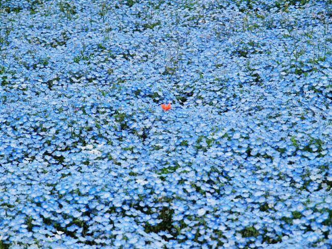 Nemophila Cute Boke Morning Natural Photo Flower Spring Flowers EyeEm Nature Lover Japan Spring Flowers Poppy