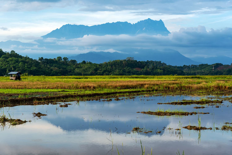 Reflection of Mt Kinabalu at the paddy field in Kota Belud Sabah Borneo Malaysia Paddy MT Field Borneo Background Landscape Kota Sky Nature Blue ASIA Mount Green Sabah Mountain Beautiful Rice Malaysia Tropical Agriculture Majestic Farm Plant Travel Outdoor Cloud Village Natural Belud Tourism Morning Scenery View Organic Asian  Growth Rural Countryside Water Lake Summer Grass Beauty Scenic Hill Park Tree Kinabalu Park Kota Kinabalu
