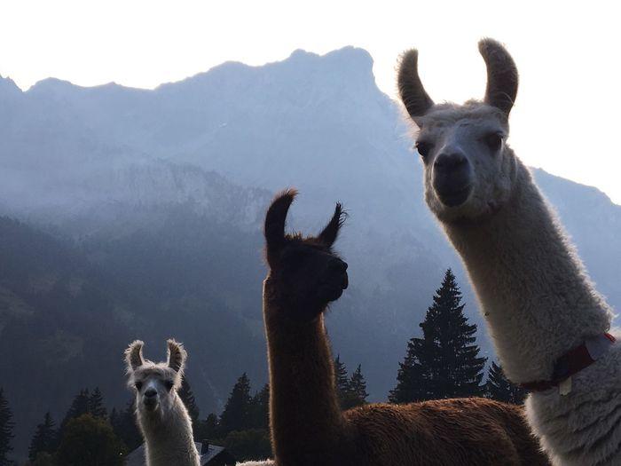 Llamas against mountains