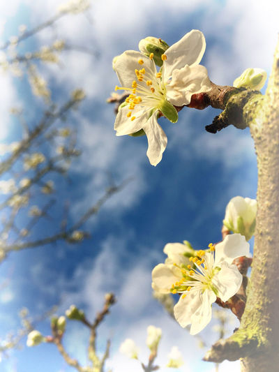 Beauty In Nature Blossom Blue Sky Botany Branch Close-up Day Fragility Freshness GReEngage Greengage Blossoms IPhoneography No People Outdoor Selective Focus Springtime Tranquil Tree White Color