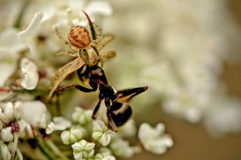 Close-Up Of Spider Feeding On Ant