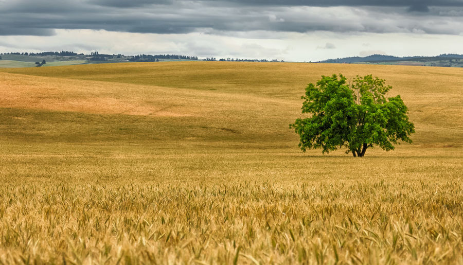 Tree on wheat field against cloudy sky