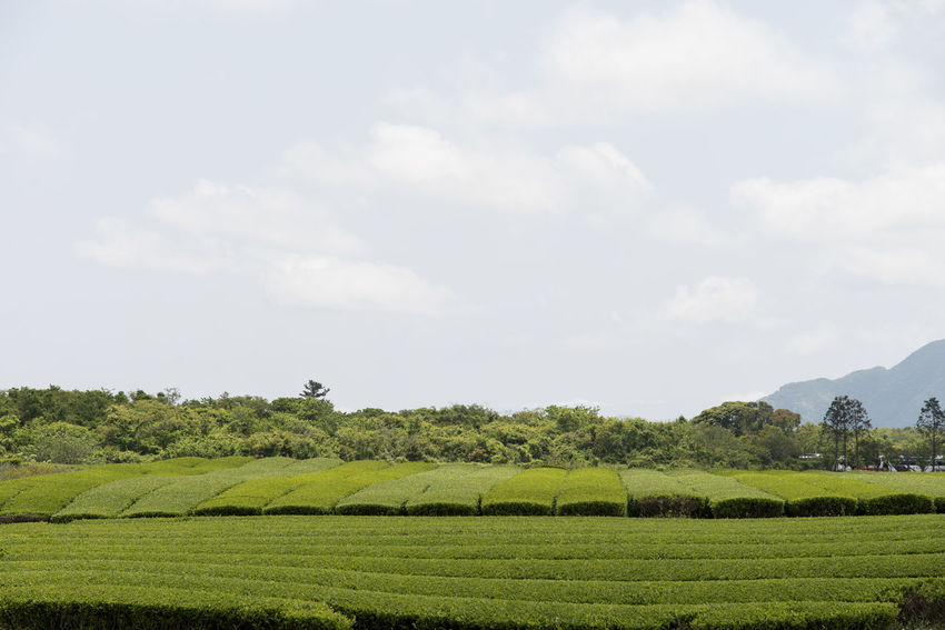 landscape near Osulloc in Jeju Island, South Korea Agriculture Beauty In Nature Day Farm Field Grass Green Color Green Tea Field Hay Bale JEJU ISLAND  Landscape Mountain Nature No People Osulloc Outdoors Rural Scene Scenics Sky Tranquil Scene Tranquility Tree