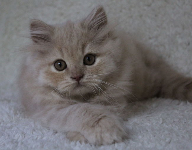 Kitty Animal Themes British Longhair British Longhair Kitten Blue British Longhair Kitten Creme Close-up Crème Day Domestic Animals Domestic Cat Feline Home Interior Indoors  Kitten Kitty Love Kittycat Looking At Camera Mammal No People One Animal Persian Cat  Pets Portrait Relaxation Whisker