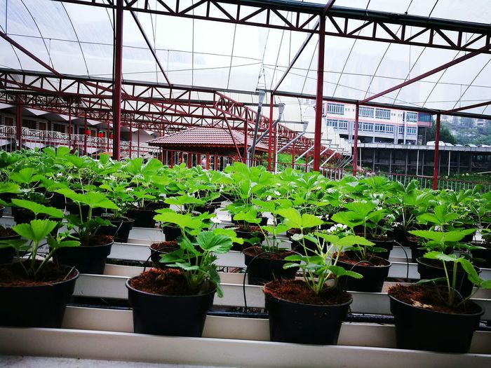 Cameron Highlands Greenhouse Potted Plant Plant Nursery Botanical Garden Growth Plant Nature Green Color Flower Pot Indoors  No People Medical Cannabis Day Beauty In Nature