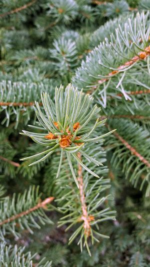 Plant Growth Close-up Nature Green Color Beauty In Nature Day Needle - Plant Part Selective Focus Fragility Outdoors Green Freshness Plant Life Spiked Pine Pine Tree Pine Trees Pineforest Maximum Closeness