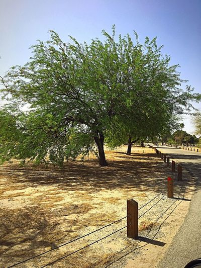 Beautiful Mesquite Tree At Yuma Pioneer Cemetery. Saw It While Taking A Morning Drive. ✨ Me Alone Calmness Peace And Tranquility Cemetery Road Cemetery Photography Beauty In Nature IPhone Photography Mesquite Tree Sky Plant Nature Sunlight Land Clear Sky Outdoors