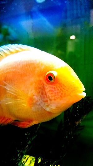 Fish Animal Themes One Animal Close-up Swimming Aquarium Nature Water Goldfish No People Pets Sea Life Underwater Animals In The Wild Day Outdoors