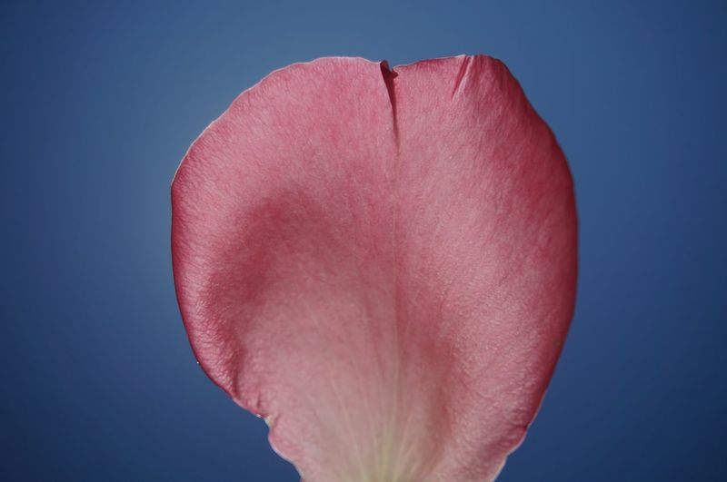 Close-up of pink rose against blue background
