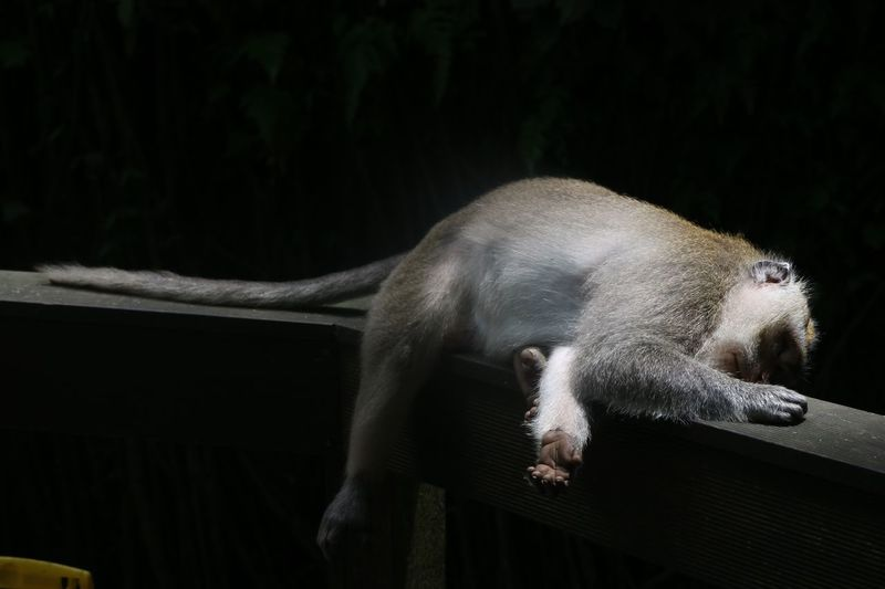 Monkey sleeping Monkey Animal Animal Themes One Animal Mammal No People Animal Wildlife Vertebrate Animals In The Wild Nature Resting Sleeping