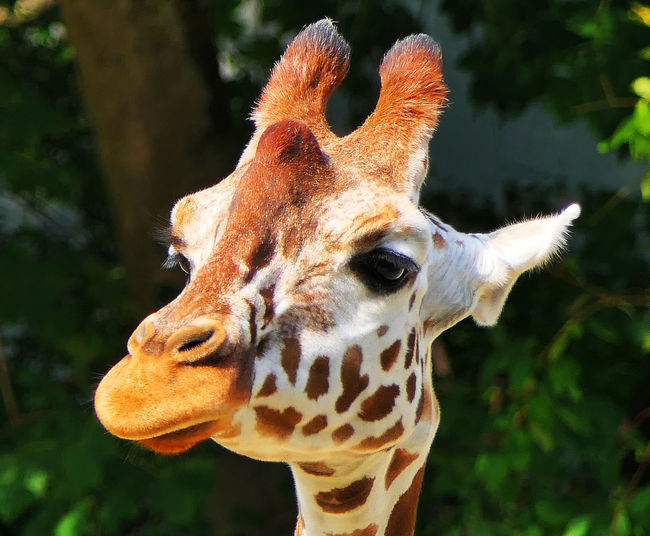 young giraffe Animal Animal Body Part Animal Eye Animal Head  Animal Markings Animal Neck Animal Themes Animal Wildlife Animals In The Wild Close-up Day Focus On Foreground Giraffe Herbivorous Land Nature No People One Animal Outdoors Plant Vertebrate Young Giraffe