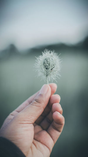 Close-up of hand holding dandelion flower