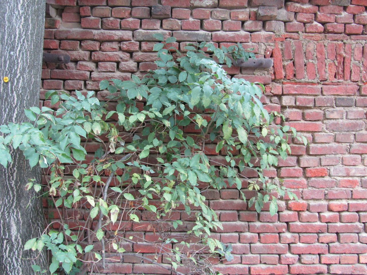 brick wall, plant, leaf, growth, ivy, green color, outdoors, no people, day, architecture, nature, built structure