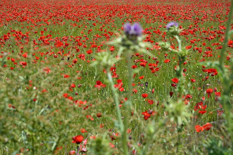The Essence Of Summer thistles poppies poppy field plants flowers red green purple colors nature beauty landscape Fine Art Photography Colour Of Life Finding New Frontiers Miles Away Break The Mold Sommergefühle Breathing Space Been There.