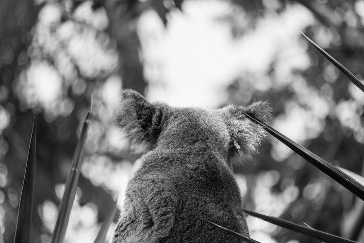 Close-up of a koala looking away