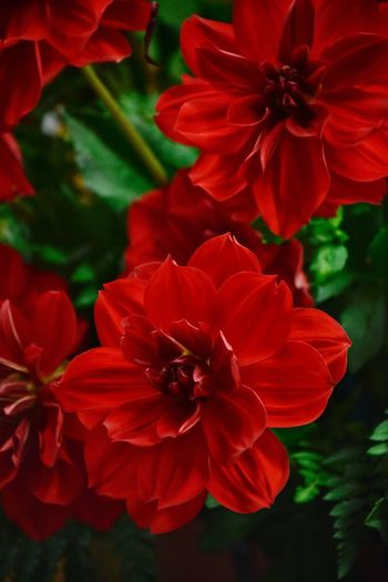 Dahlia Flowering Plant Petal Flower Freshness Beauty In Nature Plant Red No People Focus On Foreground Outdoors Botany Pollen Plant Part Growth Nature Inflorescence Vulnerability  Flower Head Close-up Fragility