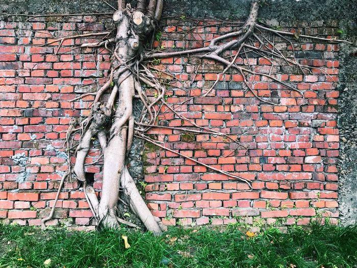 Banyan tree growing on brick wall