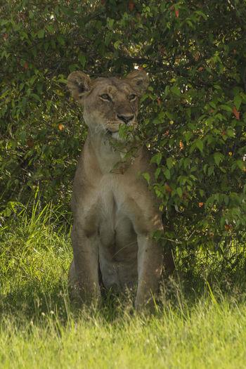 Lioness hiding