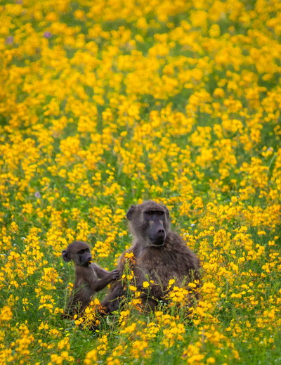 Close-up of rabbit on yellow flowers on field