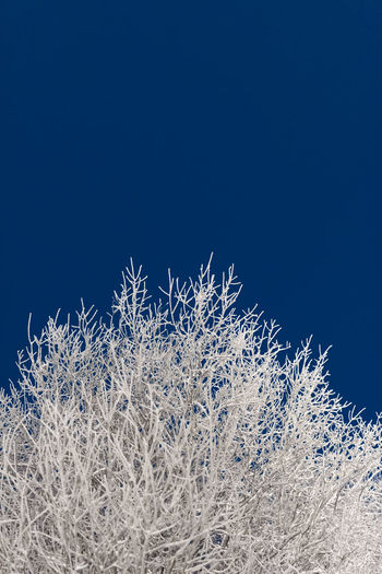 Snow covered tree branches against deep blue sky Tree Beauty In Nature Blue Clear Sky Cold Temperature Copy Space Far North Frozen Nature No People Outdoors Plant Sky Snow Snow Covered Trees Tranquility White Color Winter