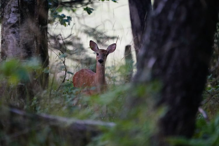 Deer Animal Animal Themes Animal Wildlife Animals In The Wild Day Deer Domestic Animals Forest Forest Photography Growth Herbivorous Land Mammal Nature No People One Animal Outdoors Plant Selective Focus Tree Tree Trunk Trunk Vertebrate