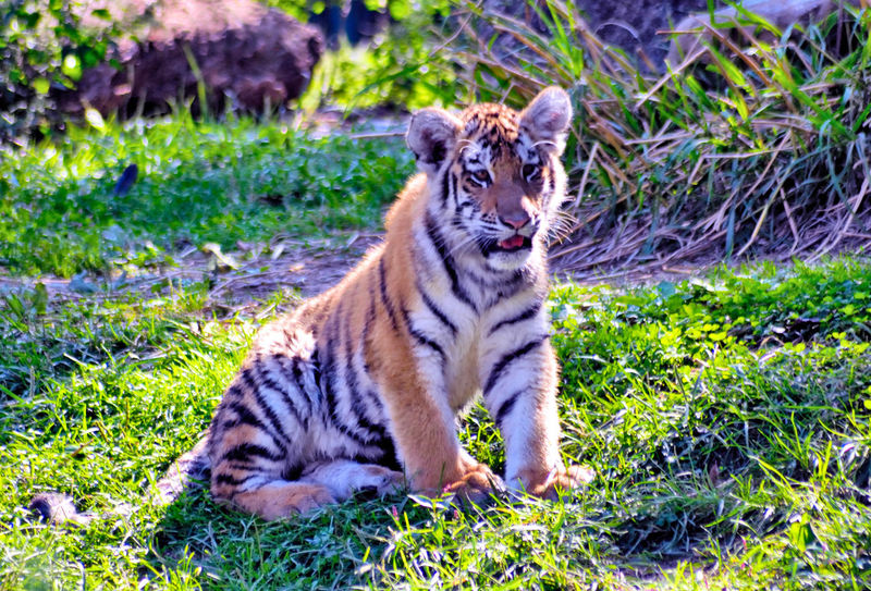 Tiger Cub... Alertness Animal Animal Themes Cat Day Domestic Animals Domestic Cat Feline Field Focus On Foreground Grass Green Color Growth Mammal Nature One Animal Outdoors Pets Plant Tabby Tiger Whisker Zoology