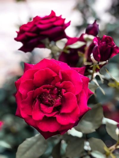 Red roses🌹 Roses_collection Roseporn Beauty Of Nature Redroses Redrocks Flower Flowering Plant Plant Beauty In Nature Fragility Petal Vulnerability  Rose - Flower Red Close-up