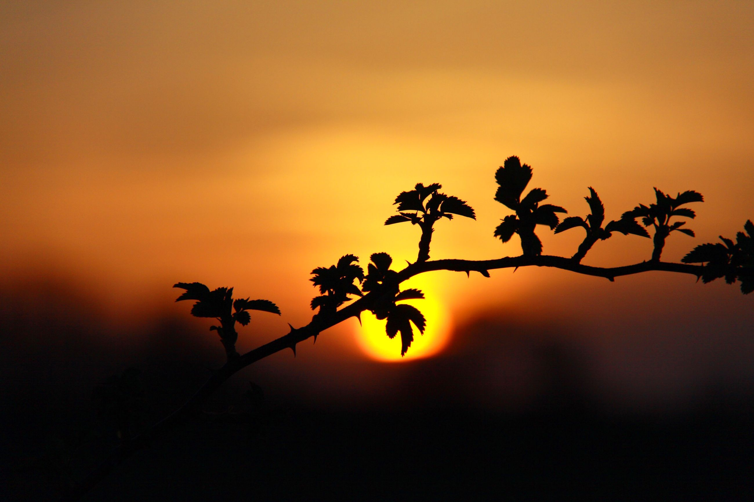 sunset, orange color, silhouette, growth, plant, beauty in nature, sun, nature, stem, flower, sky, focus on foreground, freshness, fragility, close-up, leaf, bud, tranquility, twig, branch