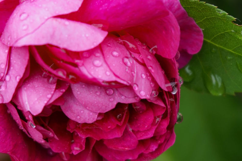 Close-up of water drops on pink rose flower