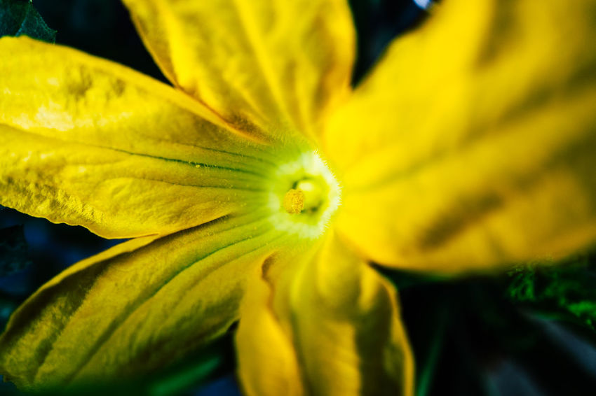 Backgrounds Beauty In Nature Blooming Blossom Close-up Day Flower Flower Head Focus On Foreground Fragility Freshness Full Frame Growth In Bloom Macro Natural Pattern Nature Petal Plant Pollen Selective Focus Stamen Yellow Zucchetti Zucchini Flower