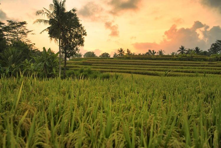 Rice field in Ubud, Bali. Bali Bali, Indonesia Field No People Scenics - Nature Green Color Tranquility Tranquil Scene Beauty In Nature Environment Nature Landscape Tree Growth INDONESIA Wonderful Indonesia Traveling Travel Destinations Rural Scene Agriculture Crop  Sunset Cloud - Sky Plantation Rice Field