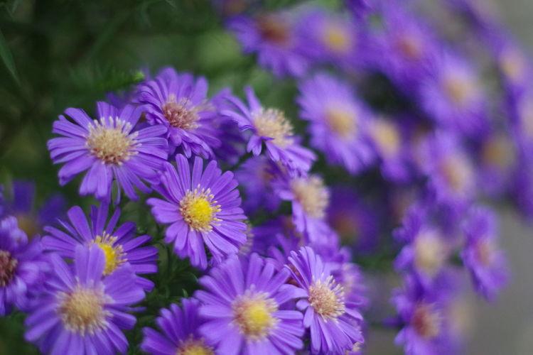 Close-up of purple flowering plants