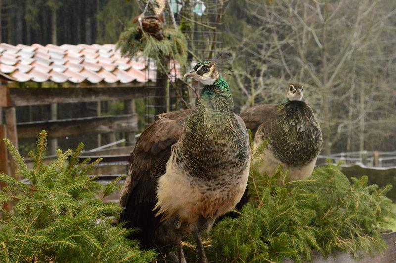 Animal Themes Beautifull Peacock Bird Female No People Outdoors Pauw Peacock Peafowl Vogel Wildlife