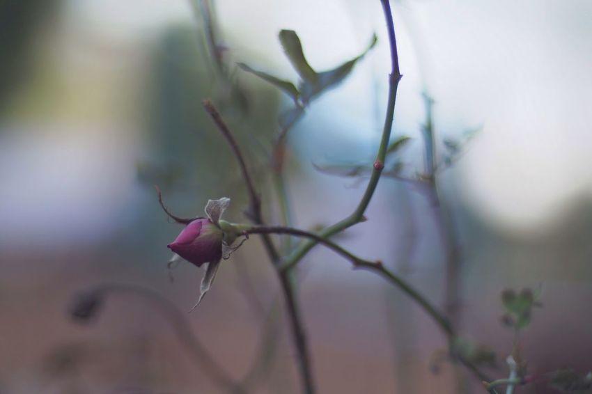 Roses Rosé Rosebuds
