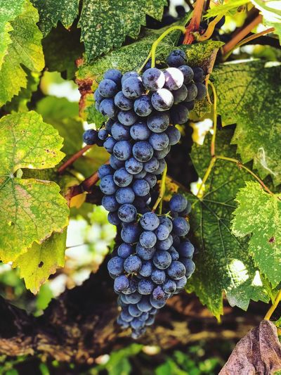 Grapes in vineyard Winepress Wine Making Grapes 🍇 Grapes, Vineyard, Wine, Winery, Soft, Healthy Eating Fruit Growth Food Food And Drink Plant Leaf