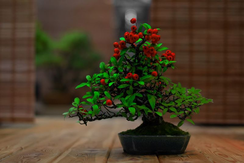 Plant Growth Green Color Potted Plant Nature Bonsai Tree No People Houseplant Fragility Vulnerability  Leaf Day Freshness Focus On Foreground Flower Pot Indoors  Plant Part Beauty In Nature Close-up Table