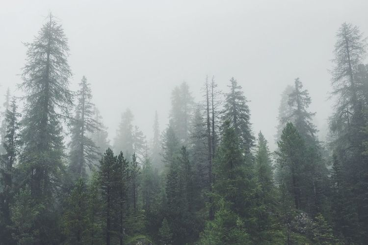 Tree Fog Weather Tranquil Scene Forest Scenics Growth Beauty In Nature Tranquility Foggy WoodLand Nature Non-urban Scene Tall - High Pine Tree Outdoors Day Evergreen Tree Woods Green Color