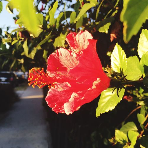 Pixxzo Nature Hibiscus 🌺 Webupload Red