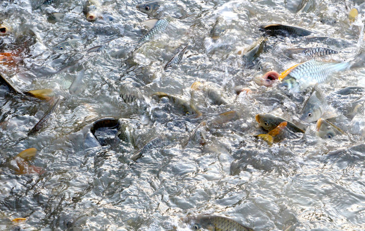 Freshwater fish in the river with abundance in Thailand. Freshwater Freshwater Fish Market Market Fish Abundance Healthcare Abundant Thailand Thai Recreation  Relax Summer Holiday Lifestyle People Lifestyle Fish Fisherman Fishery  Fisheries River Water Travel Backgrounds Full Frame High Angle View Insect Close-up Clown Fish School Of Fish Fish Tank