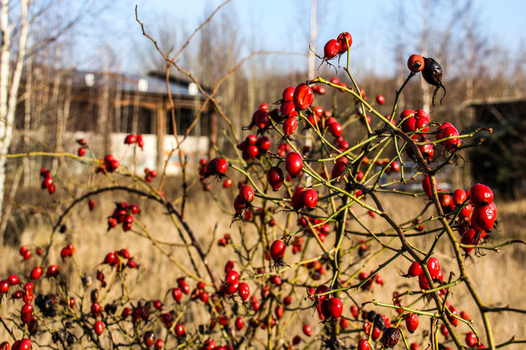 Leipzig Bahnbetriebswerk Beauty In Nature Berry Fruit Branch Close-up Day Focus On Foreground Food Food And Drink Freshness Fruit Growth Healthy Eating Lost Places In Leipzig Lostplaces Nature No People Outdoors Plant Red Rose Hip Rowanberry Tree