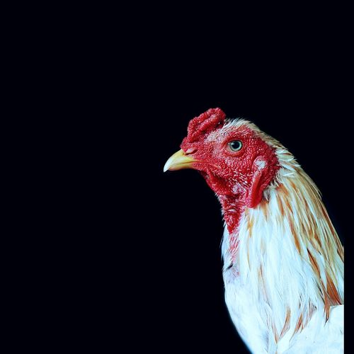 Close-up of rooster against black background