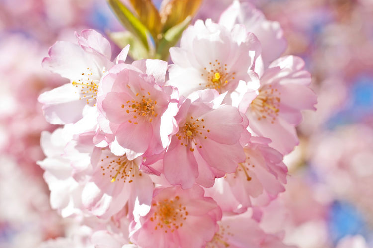 Blooming Beautiful Cherry Blossom Spring Springtime Spring Has Arrived Cherry Blossoms Cherry Blossom Close-up