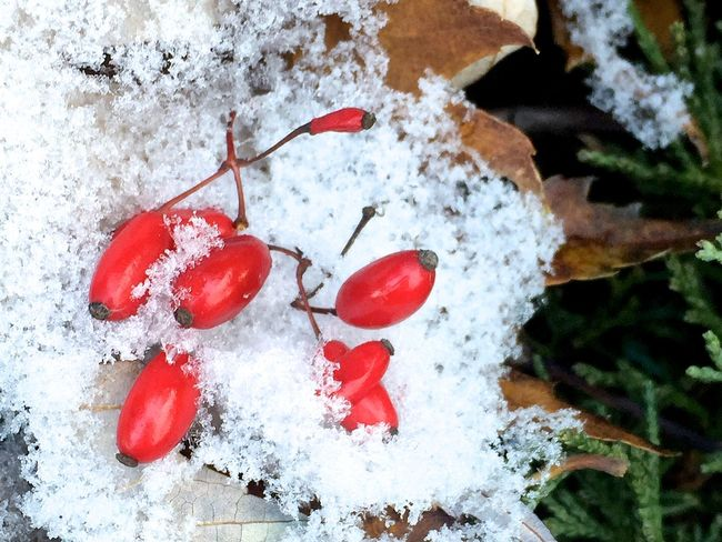 First Snow Holiday Season Best Wishes Red Colors Greens IPhoneography