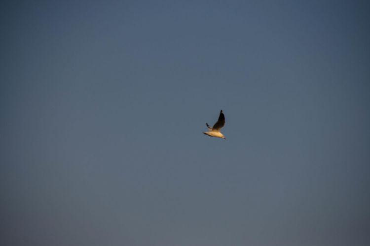 Bird Of Prey Bird Spread Wings Flying Mid-air Bald Eagle Sky Fly Hawk - Bird Raven - Bird Vulture