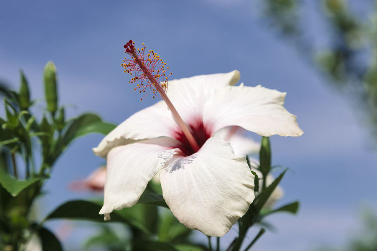 White hibiscus flower against blue sky - Cirali, Antalya Province, Turkey, Asia Antalya ASIA Blooming Bloom Blooming Flower In Bloom Blossom Blue Sky Botany Clear Sky Environment Flora Flowers Flower Collection Flowers,Plants & Garden Flowers, Nature And Beauty Garden HEAD Hibiscus 🌺 Hibiscus Flower Hibiscus Close-up Macro Macro Photography Mallow Mallow Flower Malvaceae Mediterranean  Single Object Pistil Pistil And Stamens Purity Scented Softness Stamen Stem Tranquility Tropical Tropical Climate Tropical Flower Türkiye Turkey White Hawaii Symbol Flower Flowering Plant Fragility Vulnerability  Petal Beauty In Nature Plant Freshness Close-up Growth Inflorescence Flower Head Focus On Foreground Nature White Color No People Day Hibiscus Outdoors Pollen Sepal