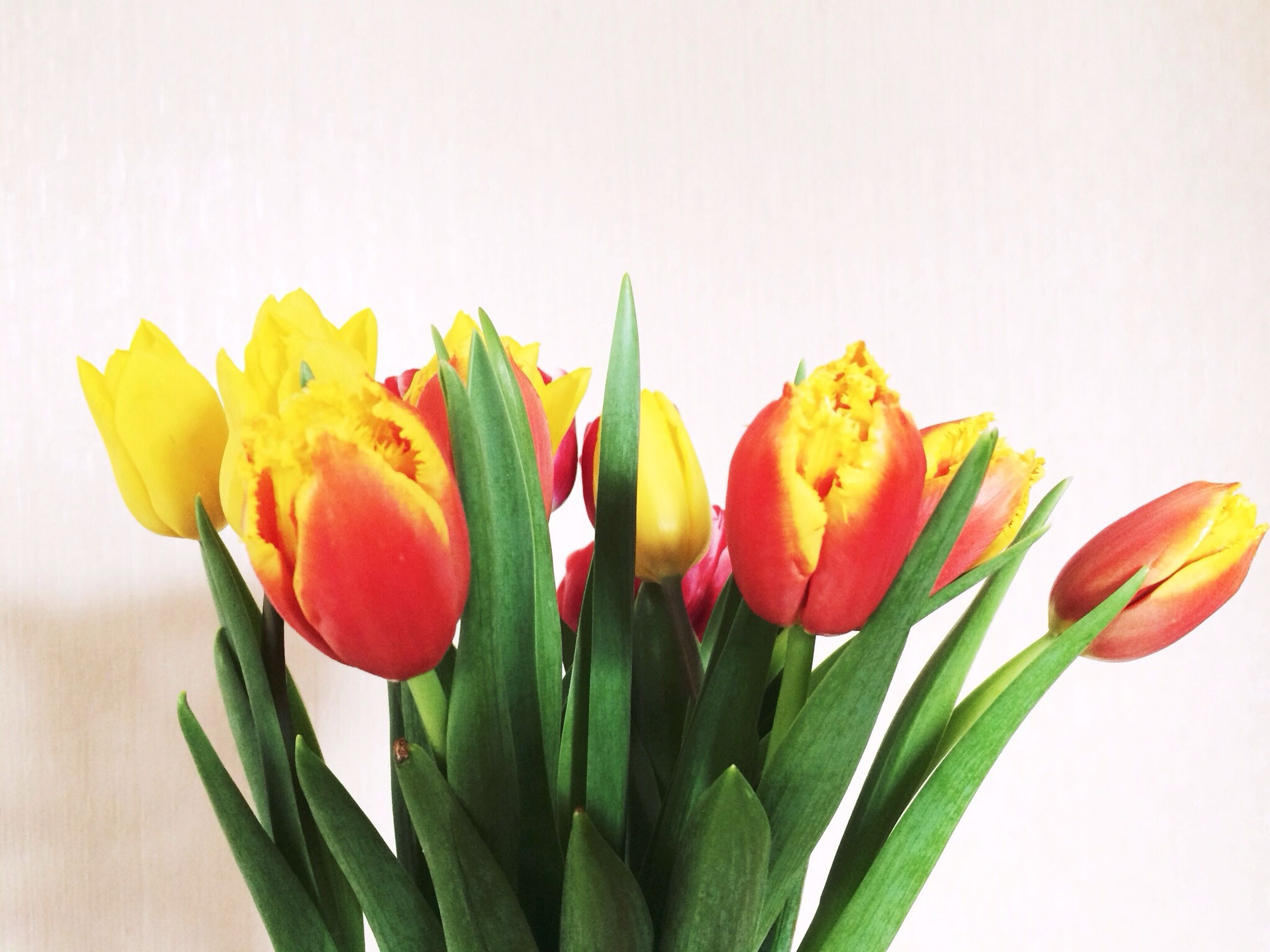 flower, freshness, petal, fragility, flower head, beauty in nature, growth, tulip, leaf, stem, studio shot, close-up, plant, nature, yellow, white background, red, blooming, bud, copy space