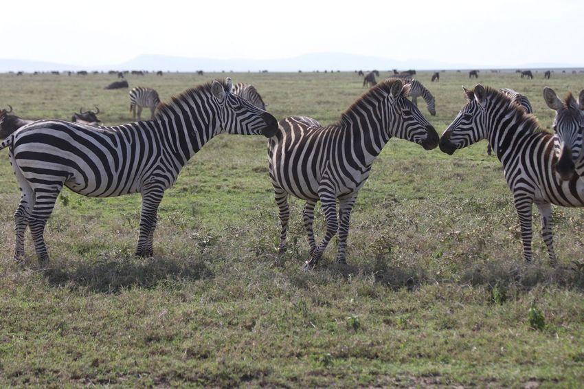 Zebra Zebra Love Wildlife Serengeti National Park Taking Photos Enjoying Life East Africa Naturelovers Wildlife & Nature Wilderness Nature Photography